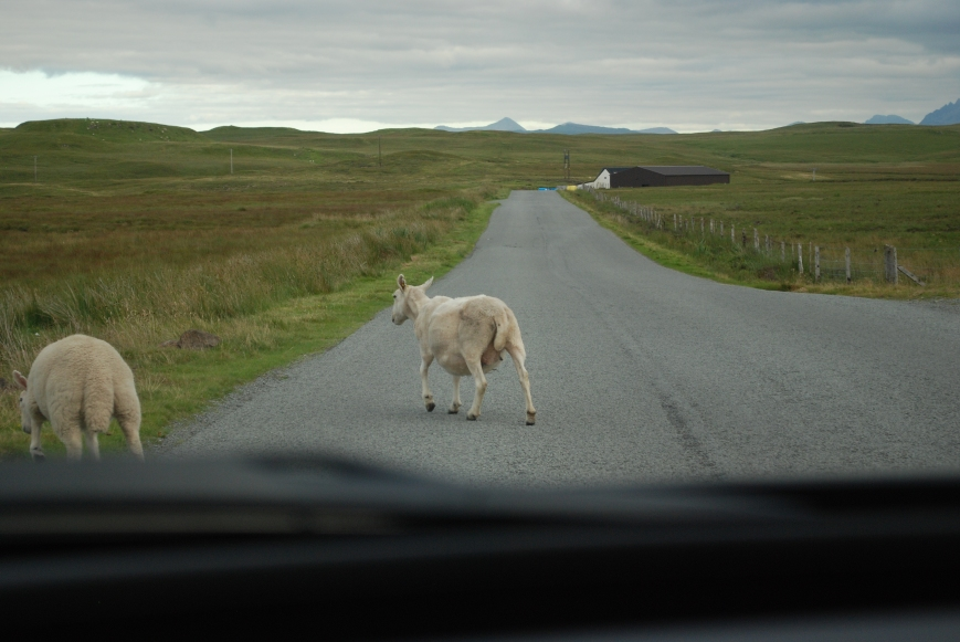 Sheep graze freely on Skye